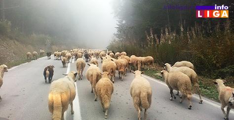 IL-Golija-rezervat-biosfere-ovce Može li Golija izgubiti titulu Rezervata biosfere?