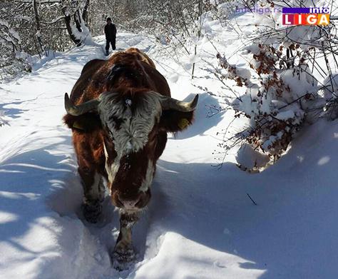IL-zivotinje-pate-zbog-snega-i-leda Ledeno doba na Goliji