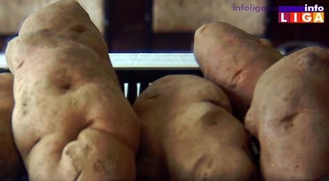 IL-ivanjicki-krompir Ivanjički krompir dobija oznaku geografskog porekla
