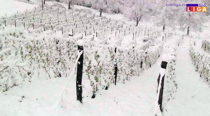 Proizvođači ogorčeni, sneg dodatno oštetio malinjake