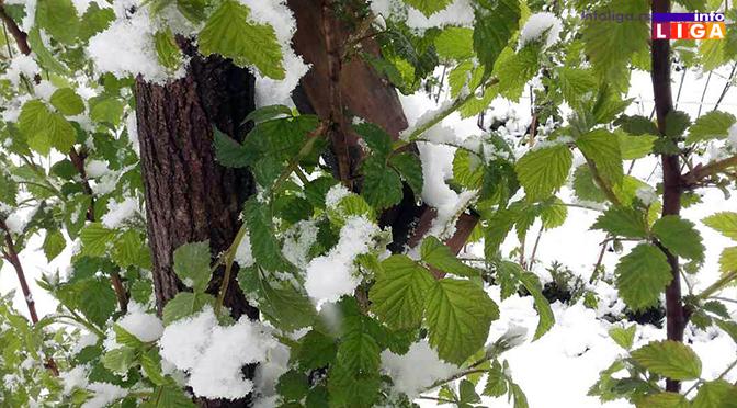 Milionska šteta od snega u voćnjacima i malinjacima (FOTO)