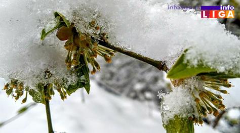 IL-pod-snegom-dren Milionska šteta od snega u voćnjacima i malinjacima (FOTO)