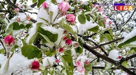 IL-pod-snegom-jabuka Milionska šteta od snega u voćnjacima i malinjacima (FOTO)