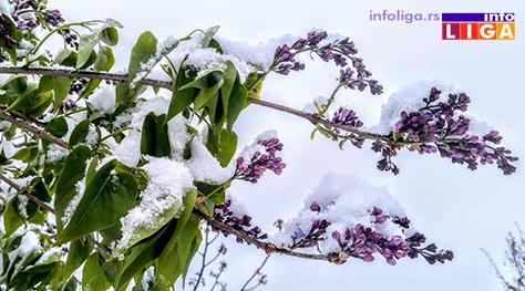 IL-pod-snegom-jorgovan Milionska šteta od snega u voćnjacima i malinjacima (FOTO)