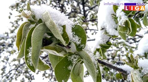 IL-pod-snegom-kajsija Milionska šteta od snega u voćnjacima i malinjacima (FOTO)