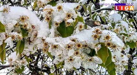 IL-pod-snegom-kruska Milionska šteta od snega u voćnjacima i malinjacima (FOTO)