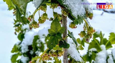 IL-pod-snegom-ribizla Milionska šteta od snega u voćnjacima i malinjacima (FOTO)
