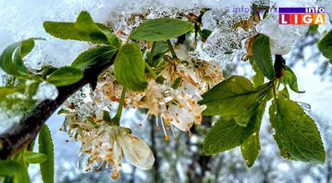 IL-pod-snegom-sljiva Milionska šteta od snega u voćnjacima i malinjacima (FOTO)