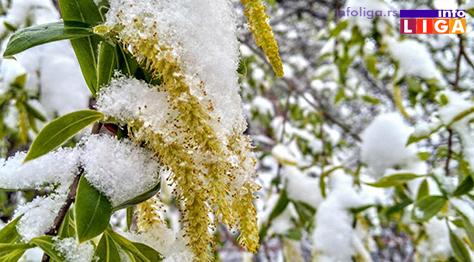 IL-pod-snegom-vrba Milionska šteta od snega u voćnjacima i malinjacima (FOTO)