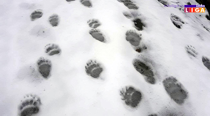 IL-mrki-medved-na-goliji-stope Monitoringom ustanovljeno da na Goliji živi oko dvadesetak medveda