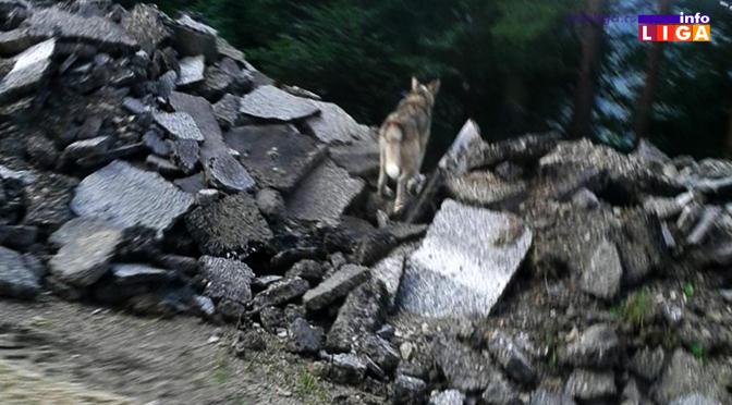 Vukovi se mirno šetaju periferijom Ivanjice (VIDEO)