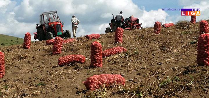 IL-ivanjicki-krompir-1 Dičimo se ivanjičkim krompirom a proizvođači na mukama