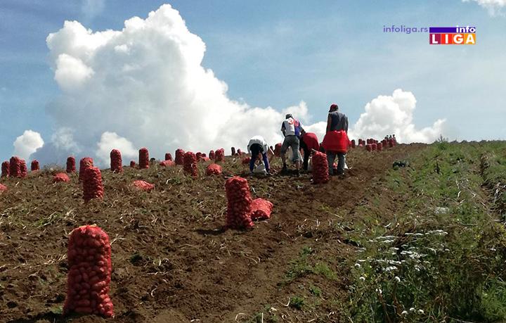 IL-ivanjicki-krompir-4 Dičimo se ivanjičkim krompirom a proizvođači na mukama