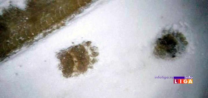 IL-mecka-kovilje-trag Ivanjičane ponovo zatrpao sneg, ali se mečke bez problema šetaju putevima