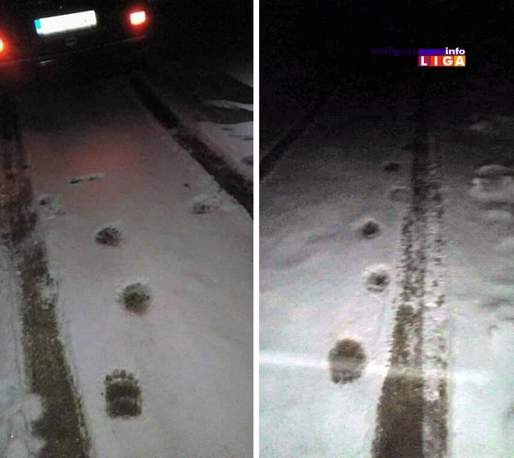 IL-mecka-kovilje-tragovi Ivanjičane ponovo zatrpao sneg, ali se mečke bez problema šetaju putevima