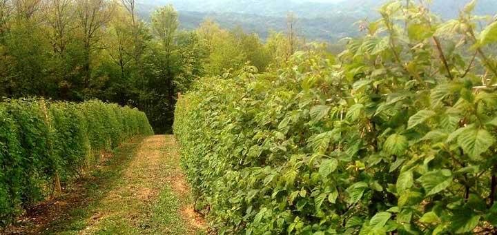 IL-malinjak-1 Pun pogodak za malinare - Bezvirusne sadnice Vilameta