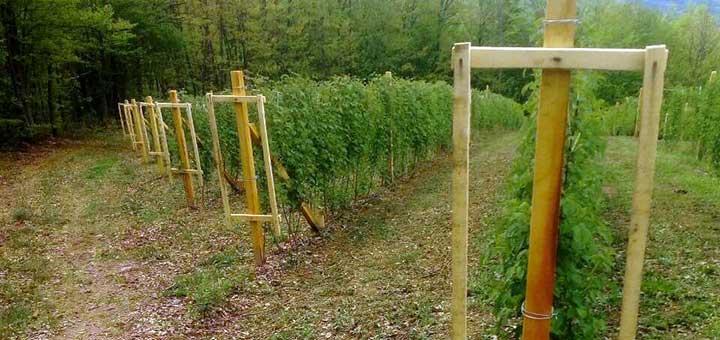 IL-malinjak-2 Pun pogodak za malinare - Bezvirusne sadnice Vilameta