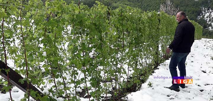 IL-sneg-u-maju-malinjaci-rzinje2 Sneg uništio malinjake u ivanjičkom kraju (VIDEO)