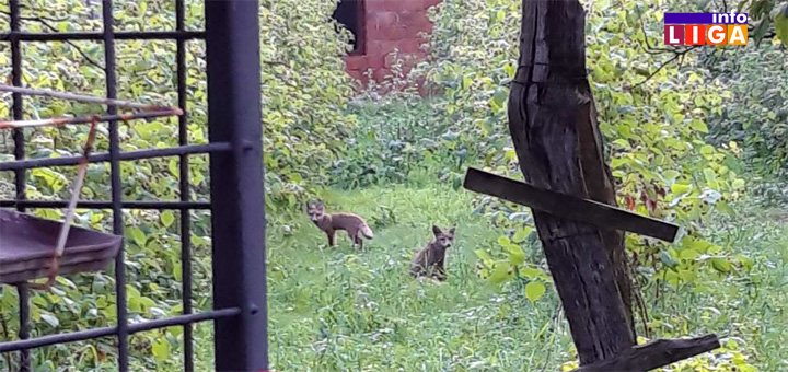 IL-NASLOVNA-LISICE- NESVAKIDAŠNJE! Lisice i jazavci stigli do užeg centra Ivanjice