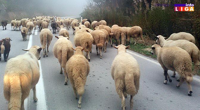 IL-golija-rezervat-biosfere-ovce Konkurs za subvencionisanje nabavke ovaca i opreme za pčelarstvo