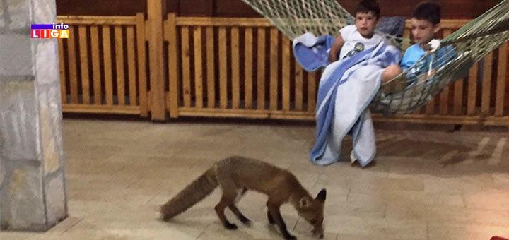 """ZANIMLJIVO: Lisica """"svratila na kafu"""" u poznati ugostiteljski objekat u Ivanjici"""