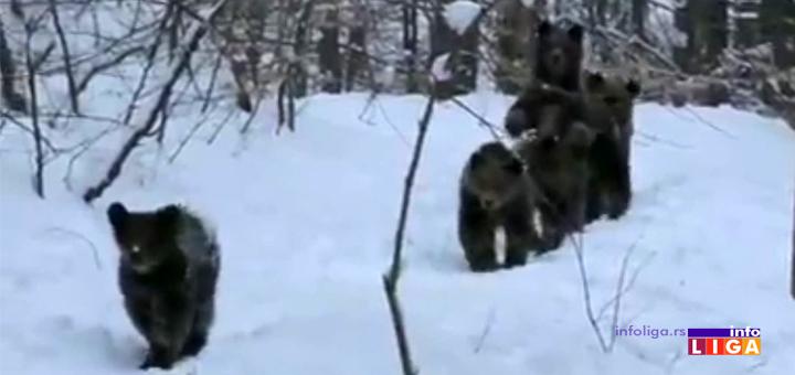 IL-medved-Golija- Neverovatan snimak! Mečke se probudile iz zimskog sna
