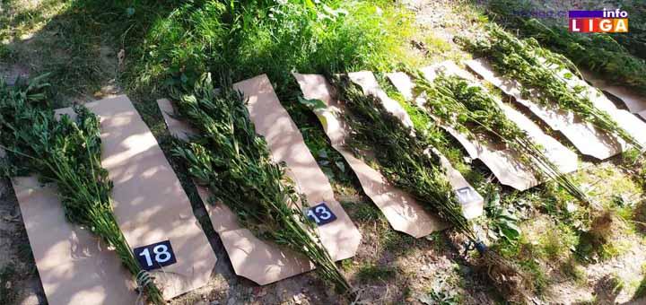 IL-Marihuana-Ivanjica Ivanjička policija uhapsila muškarca koji je ilegalno uzgajao i prodavao marihuanu
