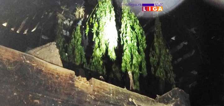 IL-Marihuana-dva-Ivanjica Ivanjička policija uhapsila muškarca koji je ilegalno uzgajao i prodavao marihuanu