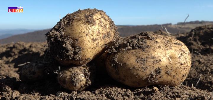 """IL-Ivanjicki-krompir- Proizvođači ivanjičkog krompira razočarani : """"Pre ću da ga bacim, nego da ga dajem džabe"""" (VIDEO)"""