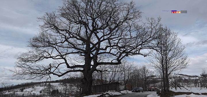Il-hrast-svetodrvo Ivanjičanin pokušao da poseče granu svetog drveta - usledio košmar (VIDEO)