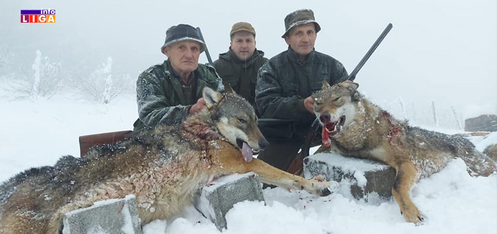 il-vukovi Ivanjica: Lovci odstrelili dva vuka koja su pravila ogromne štete (FOTO)