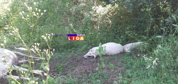 IL-Ovce-stradale-5 Ivanjica: Rajku grom usmrtio jedanaest ovaca  (UZNEMIRUJUĆE FOTOGRAFIJE)