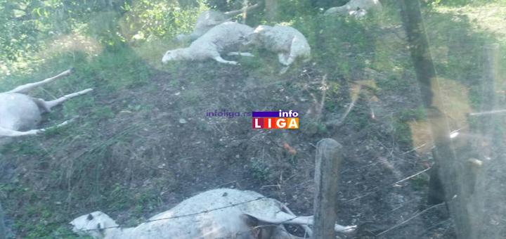 IL-Ovce-stradale-od-groma1 Ivanjica: Rajku grom usmrtio jedanaest ovaca  (UZNEMIRUJUĆE FOTOGRAFIJE)