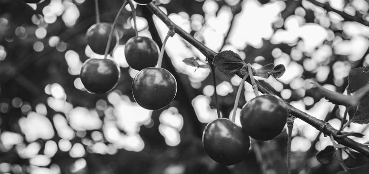 IL-tresnja-poginuo-covek- Ivanjica: Tragičan pad sa trešnje