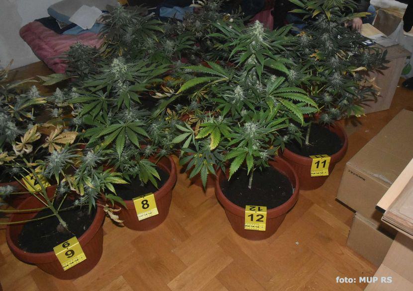 IL-MARA Arilje: Policija pronašla 1.500 stabljika marihuane u plasteniku